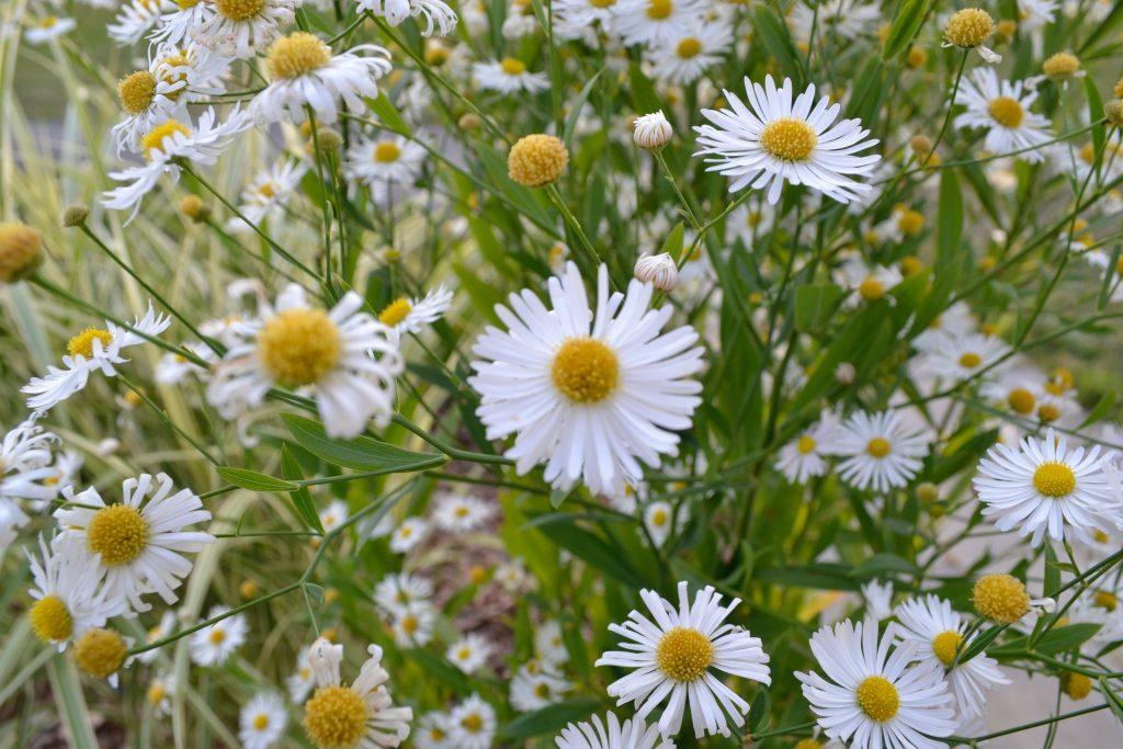 Wild Daisys in Meadow